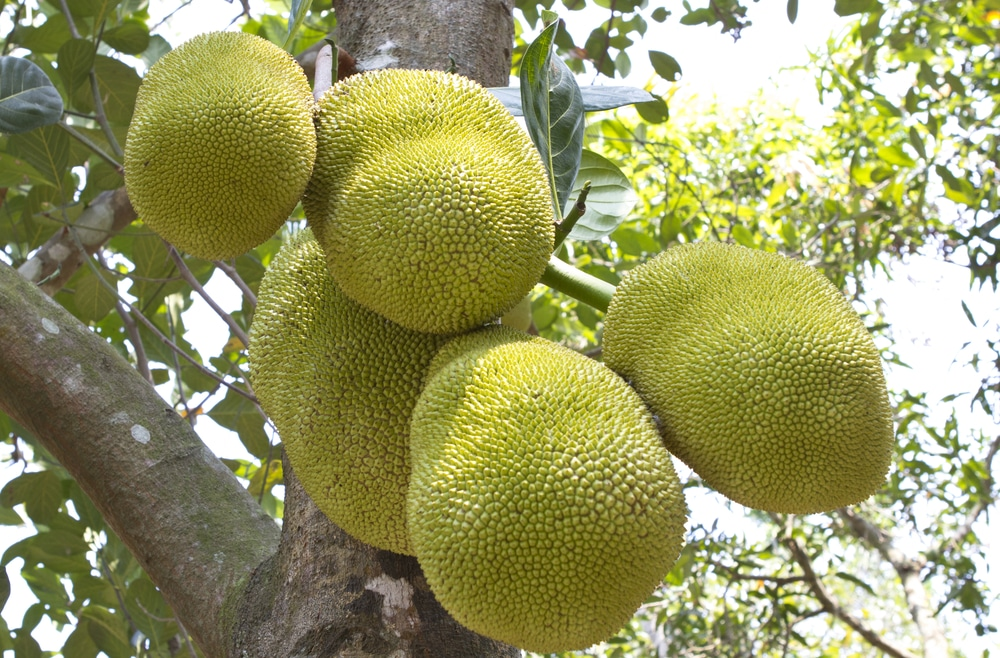 11 Amazing Health Benefits and Uses of Jackfruit