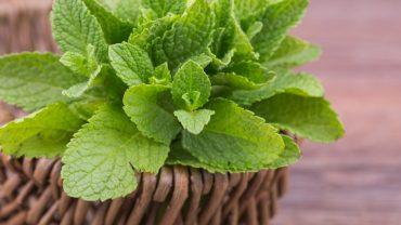 Mint Leaves health benefits