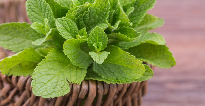 Mint Leaves health benefits