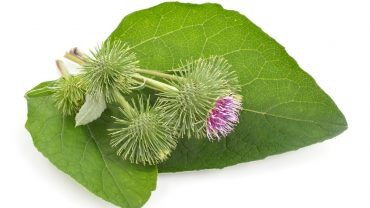 11 Amazing Health Benefits of Burdock