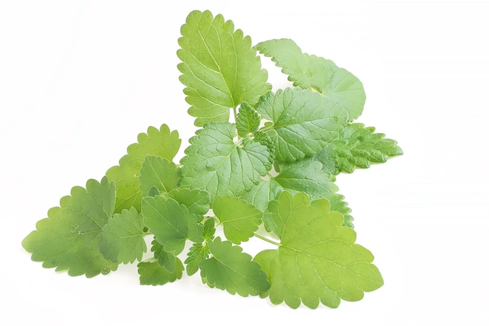 11 Amazing Health Benefits of Catnip