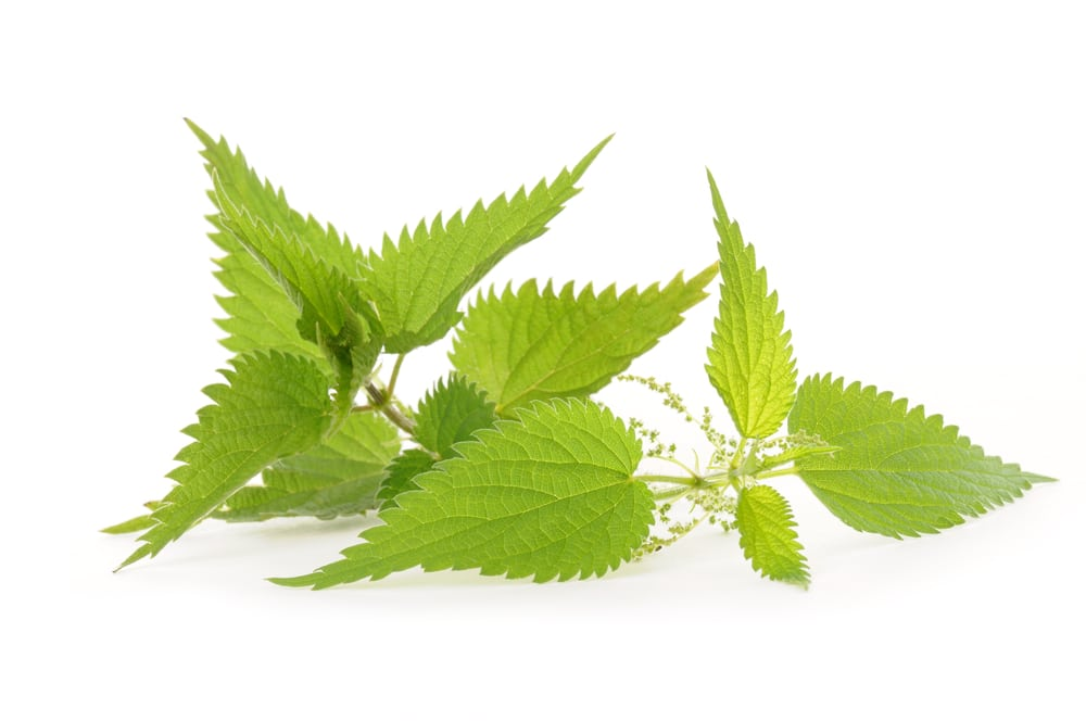 13 Amazing Benefits of Stinging Nettle
