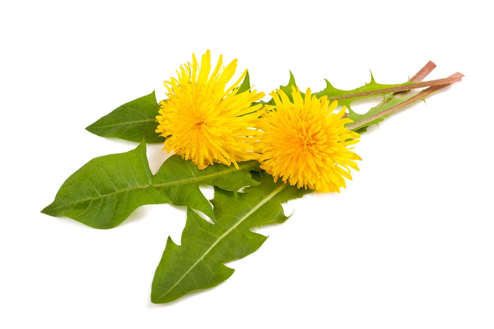 13 Surprising Benefits of Dandelion
