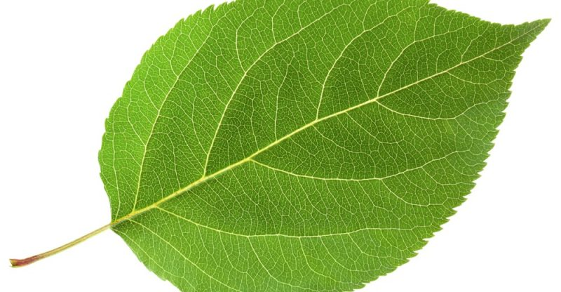 12 Health Benefits of Ashitaba