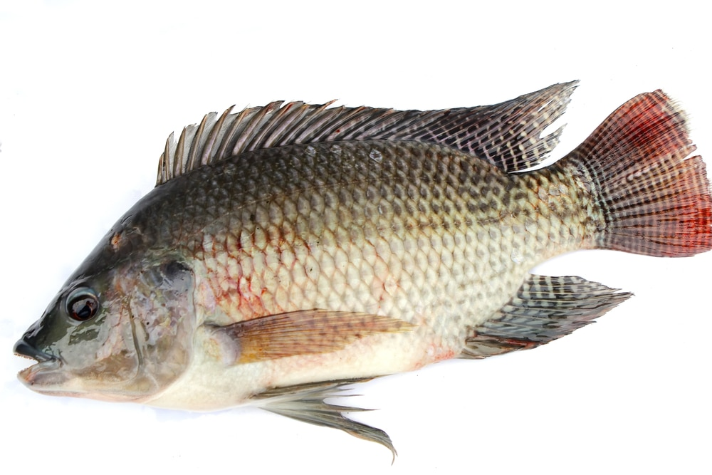13 Impressive Benefits of Tilapia