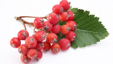 11 Impressive Benefits of Rowan Berries