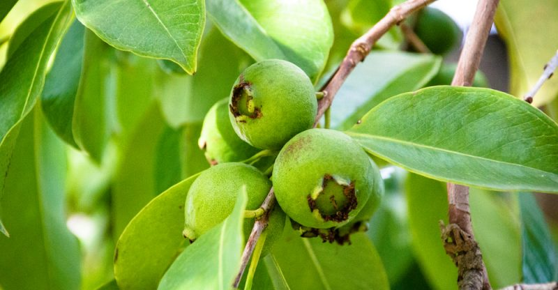 13 Amazing Benefits of Guava Leaves