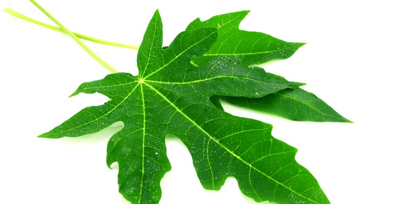 13 Amazing Benefits of Papaya Leaves
