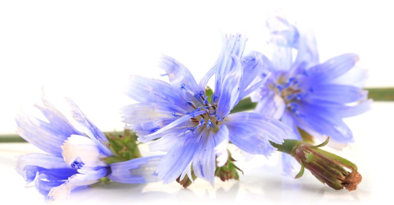 11 Amazing Health Benefits of Chicory
