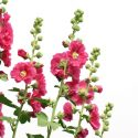 Benefits and Uses of Hollyhock